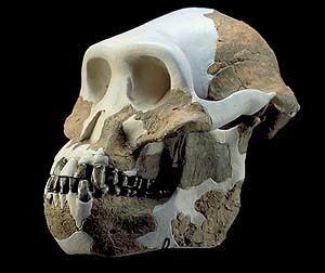 Australopithecus anamensis Australopithecus anamensis Atlas Virtual da PrHistria