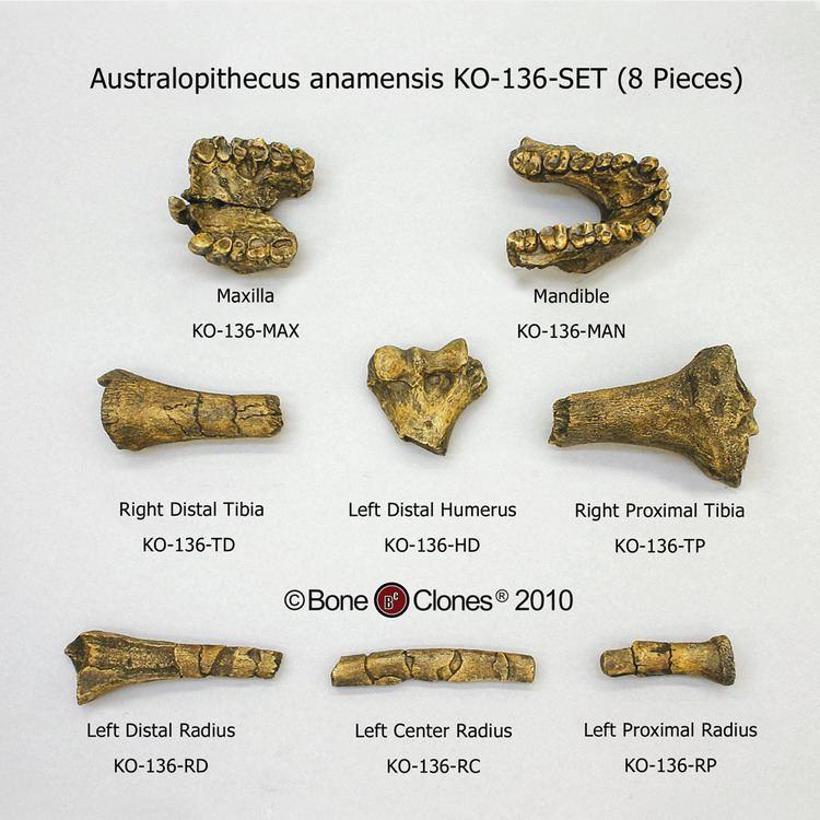 Australopithecus anamensis Australopithecus anamensis Set Bone Clones Inc Osteological