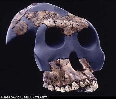 Australopithecus bahrelghazali httpstheyoungarchaeologistfileswordpresscom