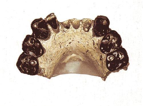Australopithecus bahrelghazali hominidfossils Australopithecus