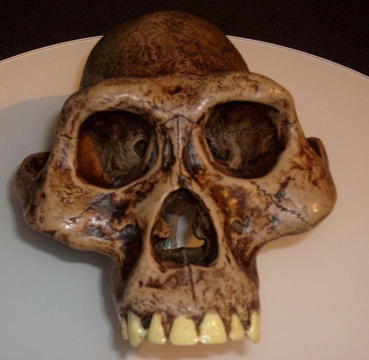 Australopithecus Australopithecus Wikipedia