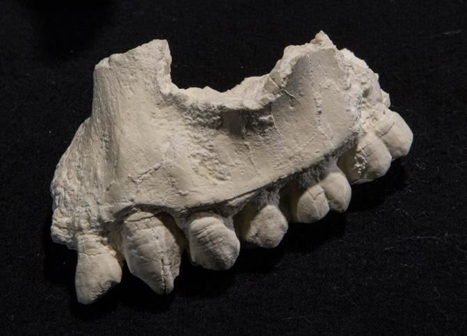 Australopithecus deyiremeda Australopithecus deyiremeda Cleveland Museum of Natural History