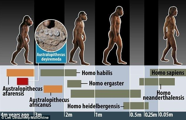 Australopithecus deyiremeda Mysterious fossils reveal new species of early HUMAN Thickjawed