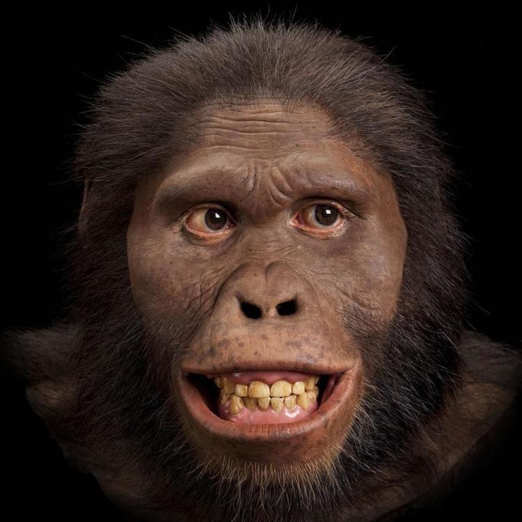 Australopithecus Australopithecus africanus The Smithsonian Institution39s Human