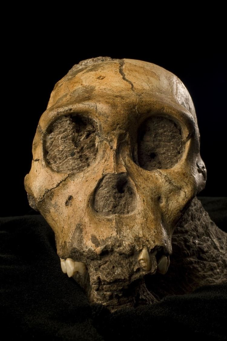 Australopithecus sediba The Newest Member of the Human Family Tree Science Smithsonian