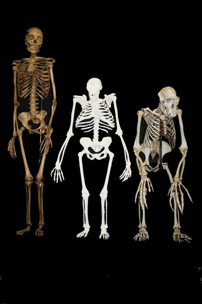 Australopithecus sediba Australopithecus sediba hominin New study reveals how human