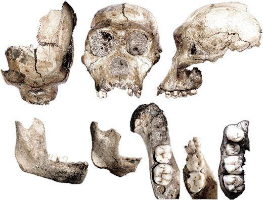 Australopithecus sediba Australopithecus sediba