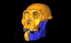 Australopithecus sediba Australopithecus sediba Details Encyclopedia of Life