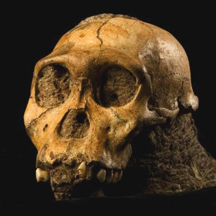 Australopithecus sediba Australopithecus sediba The Smithsonian Institution39s Human