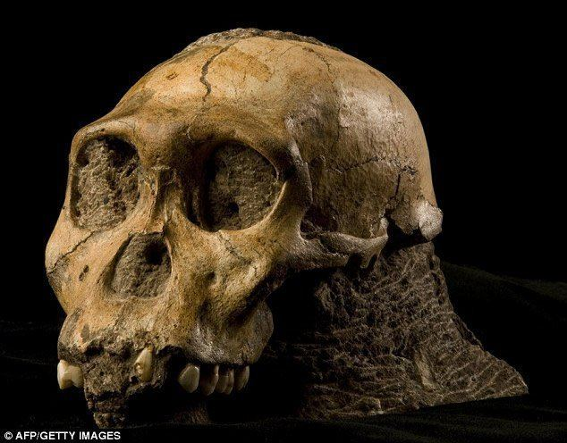 Australopithecus sediba httpscdnassetsanswersingenesisorgimgarticl