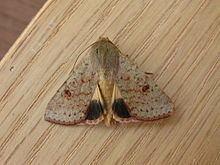 Australothis rubrescens httpsuploadwikimediaorgwikipediacommonsthu