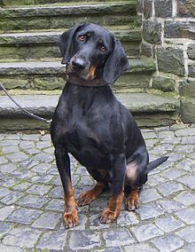 Austrian Black and Tan Hound httpsuploadwikimediaorgwikipediacommonsthu