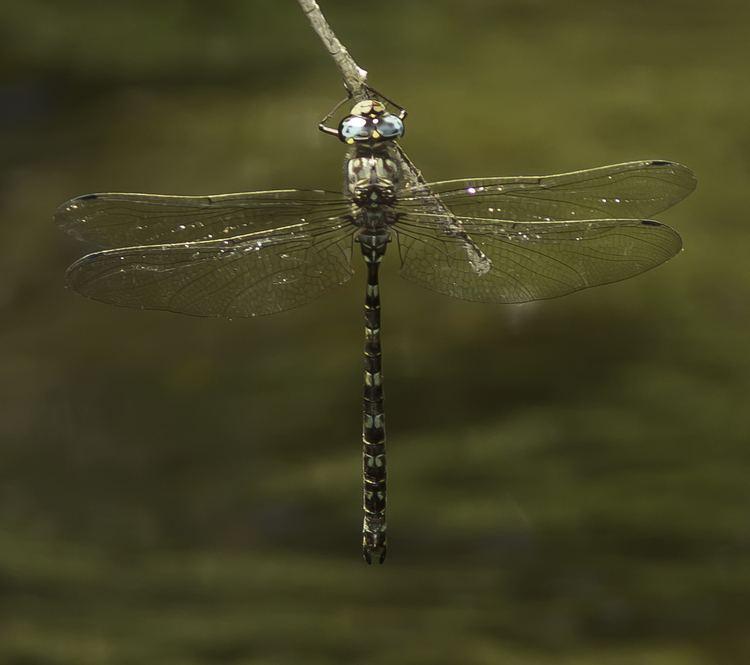 Austroaeschna There Be Dragonflies Austroaeschna subapicalis CONEHEAD DARNER