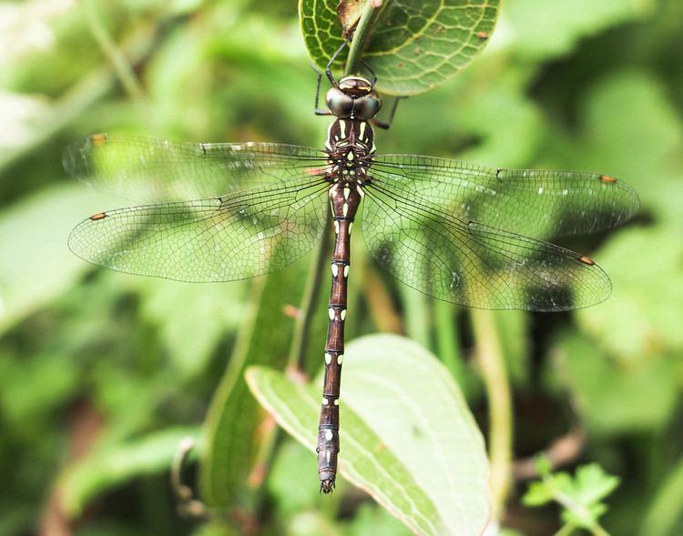 Austroaeschna There Be Dragonflies Austroaeschna pulchra FOREST DARNER