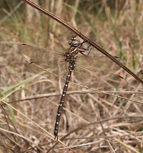 Austroaeschna Dragonflies Austroaeschna unicornis