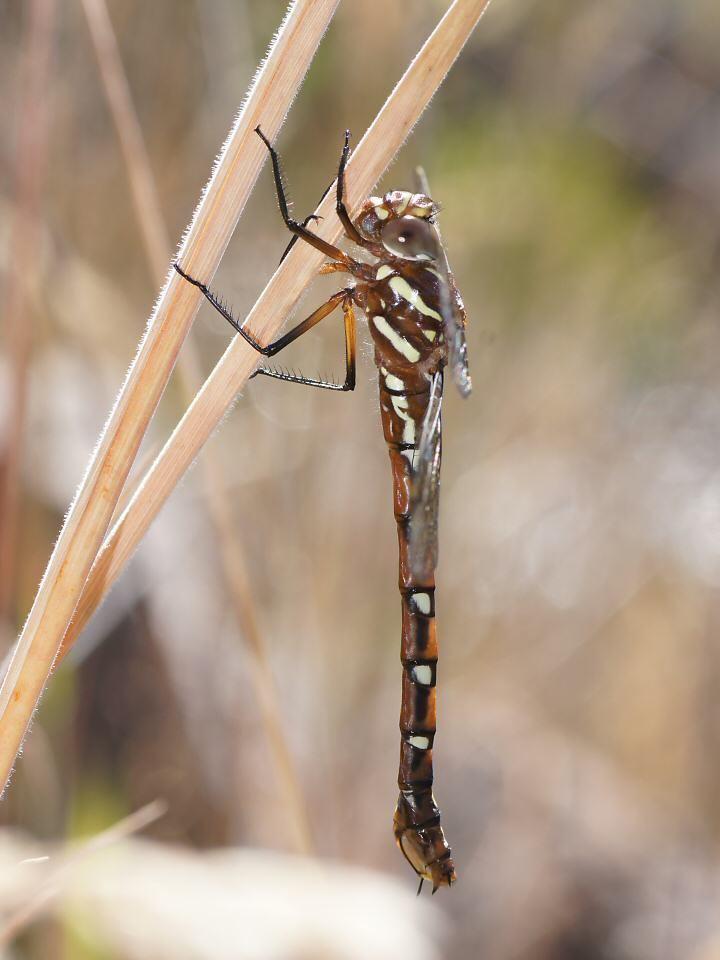 Austroaeschna Austroaeschna pulchra Forest Darner Dragonfly Photo Gallery