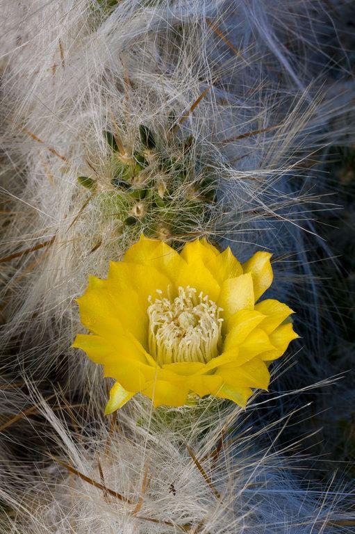 Austrocylindropuntia floccosa CalPhotos Austrocylindropuntia floccosa Huaraco
