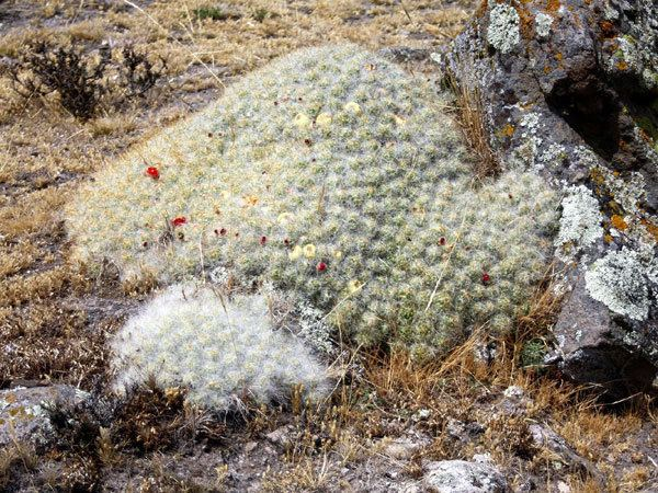 Austrocylindropuntia floccosa Online Guide to the positive identification of Members of the