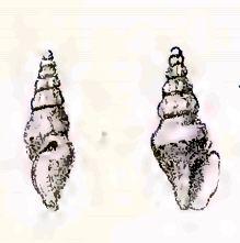 Austrodrillia