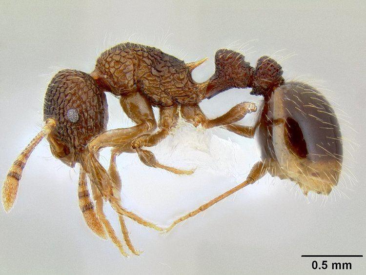 Austromorium flavigaster