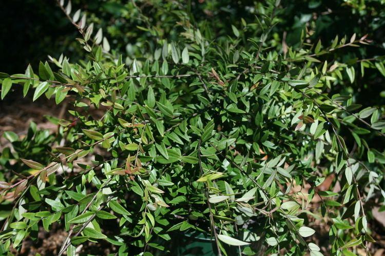 Austromyrtus Austromyrtus Dulcis Bush Snacks Common Name Midyim Berry 175mm