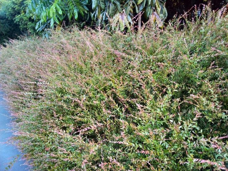 Austromyrtus wwwgardeningwithanguscomauwpcontentuploads2