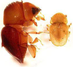 Austroplatypus incompertus wwwambrosiasymbiosisorgwpcontentuploads2012