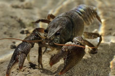 Austropotamobius White Clawed Crayfish Austropotamobius Pallipes Underwater on