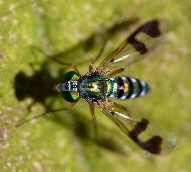 Austrosciapus wwwsaveourwaterwaysnowcomaudbaseuplP1130839jpg