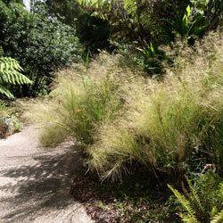 Austrostipa ramosissima Austrostipa ramosissima Growing Native Plants