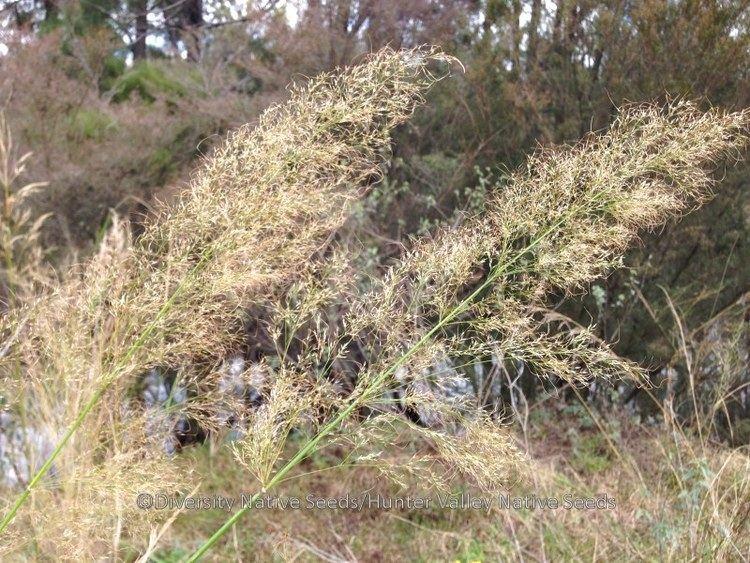 Austrostipa ramosissima Austrostipa ramosissima stout bamboo grass Diversity Native Seeds