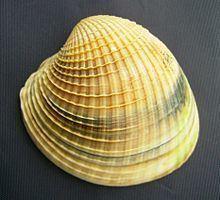 Austrovenus stutchburyi httpsuploadwikimediaorgwikipediacommonsthu
