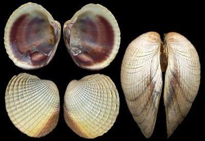 Austrovenus stutchburyi Veneridae pictures