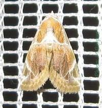 Autoba costimacula