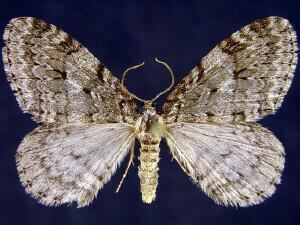 Autumnal moth mothphotographersgroupmsstateeduFiles1JV300J