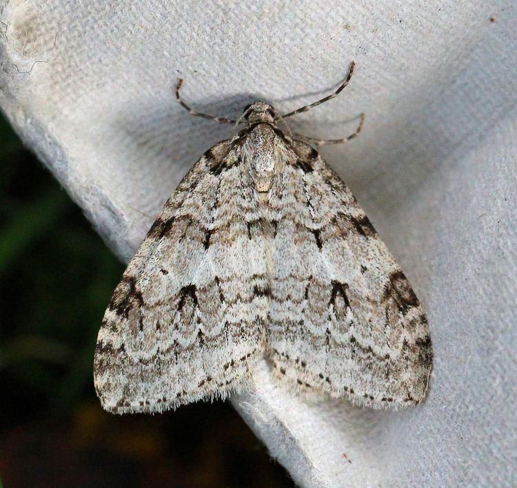 Autumnal moth Autumnal Moth Epirrita autumnata Co Donegal