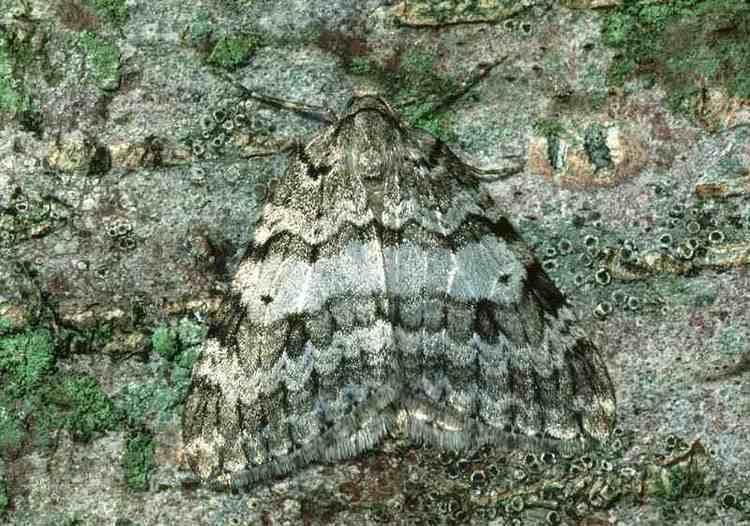 Autumnal moth Autumnal Moth Epirrita autumnata UKMoths