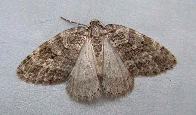 Autumnal moth Hants Moths 70110 Small Autumnal Moth Epirrita filigrammaria