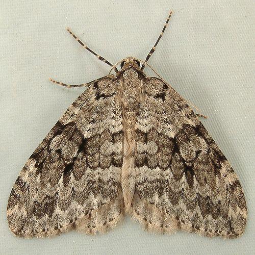 Autumnal moth 1340 Epirrita autumnata Autumnal Moth 7434 Epirrita autumnata