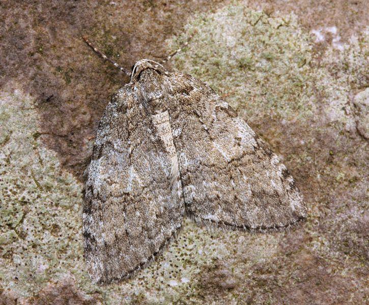Autumnal moth Hants Moths 70109 Autumnal Moth Epirrita autumnata