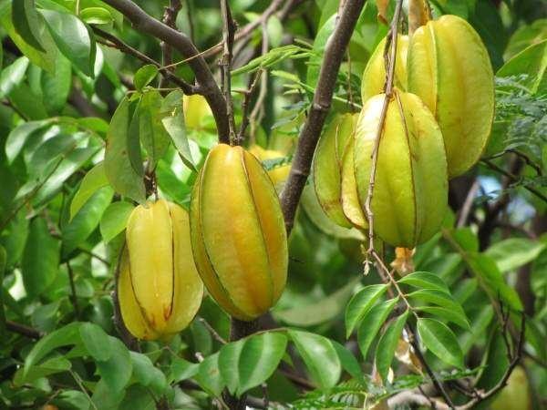 Averrhoa Star Fruit 83883 common name Averrhoa carambola