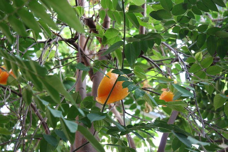 Averrhoa Averrhoa carambola Oxalidaceae Carambola Star Fruit