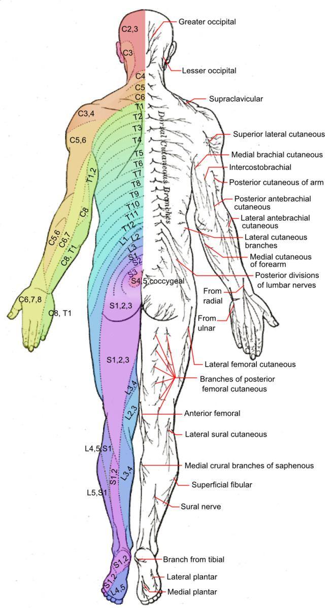 Axial line (dermatomes)