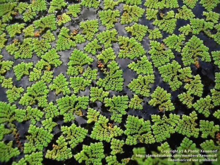 Azolla pinnata AZOLLA PINNATA herbis mundi
