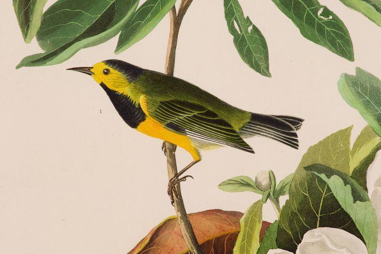 Bachman's warbler Bachman39s Warbler Reynolda House Museum of American Art
