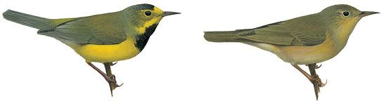 Bachman's warbler Bachmans Warbler Vermivora bachmanii Planet of Birds
