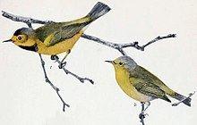 Bachman's warbler Bachman39s warbler Wikipedia