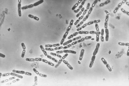Resultado de imagem para Bacillus thuringiensis israelensis (BTI)