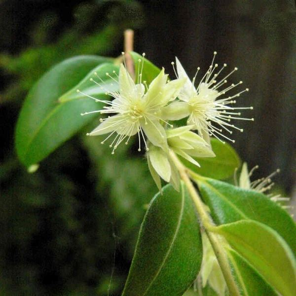 Backhousia Backhousia myrtifolia Noosa39s Native Plants