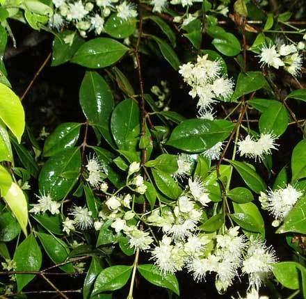 Backhousia Backhousia myrtifolia MYRTACEAE Grey Myrtle